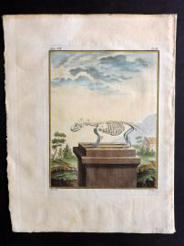 Buffon 1768 Antique Hand Col Print. Rodent Skeleton 7-10